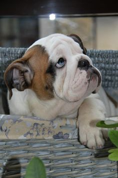 #Bulldog puppy.