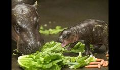 This pygmy hippo mom endures her baby's lecture on the importance of eating fruits and vegetables...(It's a favorite topic of his.)