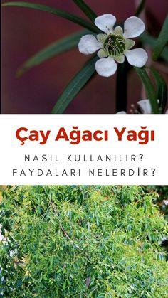 Cilt sağlığı için çay ağacı yağı nasıl kullanılır? Siğil tedavisi, saç bakımı ve sivilce temizliğinde etkili çay ağacı yağı kullanım alanları burada! Turkish Recipes, Body Care, Plants, Plant, Bath And Body, Planets