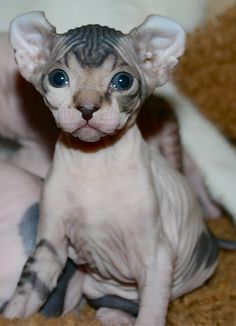 28 фото новой породы кошачьих эльфов! Космические ушастики - Pufiki