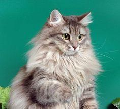 Siberian cat (55 pictures) (1)