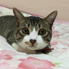 2016/04/26  えなんのこと  ぼくじゃないにゃ  #とぼけてるけど犯人はキミだよね  #お姉ちゃんの目薬どこやったんですか  #子猫#子猫部#ねこ#ネコ#猫#cat#cats#ふわもこ部#シュガー2016#シュガー2016年4月#9ヶ月 by miyuu0830