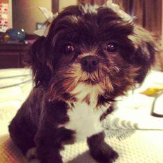 Shih-poo named zeeleigh!