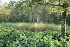 Spartina bakeri (sand cordgrass) native Florida grass used in landscaping to create frame around woods- attracts birds