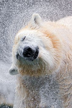 Shaking polar bear IV by Tambako the Jaguar, via Flickr