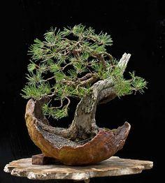 Mugo Pine Grown as a Bonsai [Pinus mugo]
