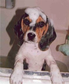 Keeter beagle sudsin up!