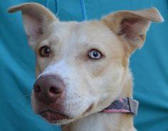 Petango.com – Meet Gingy, a 4 years 4 months Retriever, Labrador / Siberian Husky available for adoption in VISALIA, CA