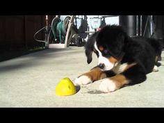 Bernese Mountain Dog puppy gets introduced to a lemon (VIDEO) » DogHeirs | Where Dogs Are Family « Keywords: Bernese Mountain Dog, Puppy, lemon