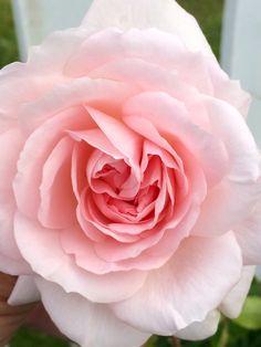 Нежная роза в саду🥀