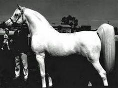"""Raffles -- pretty much when I hear the word """"Arabian"""" I think of this legendary stallion."""