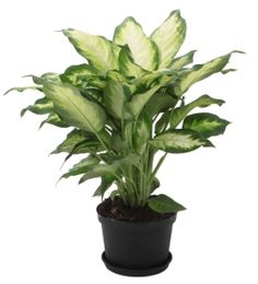 DIEFFENBACHIA - indoor plant; do not let animals chew on leaves - the cells of the Dieffenbachia plant contain needle-shaped calcium oxalate crystals called raphides.