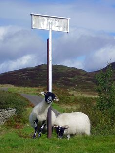 friendly sheep at loch Whinnyen, up in the galloway hills