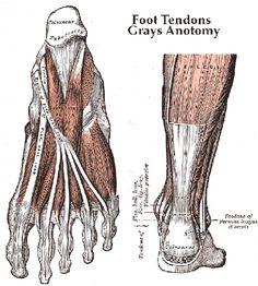 Studying the effect of Rheumatoid Arthritis (RA) on tendons