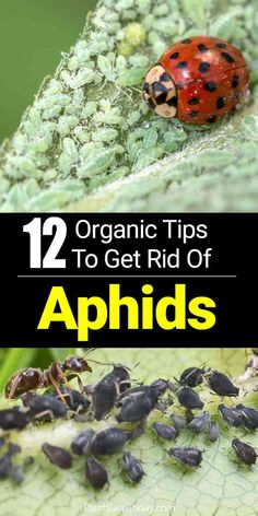 Organic Gardening Ideas Aphids or plant lice, are pesky critters who love to feast on hibiscus, tomatoes, peppers and other plants the garden landscape - Discover Natural Controls