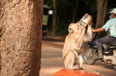 That hit the spot! Cute beer drinking monkey in #Cambodia.