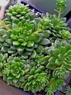 Echeveria 'Emerald Ripple'    A compact grower with densely clustered rosettes to 10cm wide. Leaves are dark glossy green tipped with red, and very fine hairs along the margins. Striking red flowers. Sun/part sun.