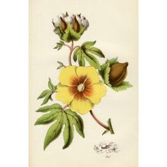 Cotton Plant From The National Encylopaedia Published By William Mackenzie London Late Century Canvas Art - Ken Welsh Design Pics x Cotton Plant, Growing Cotton, Canvas Art, Canvas Prints, Botanical Flowers, Poster Size Prints, 19th Century, Photo Wall Art, Plant Illustration