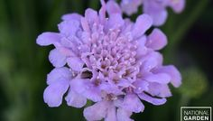 Pincushion Flower Flutter Deep Blue The Flutter series of pincushion flower has shorter stems and larger flowers than previous Scabiosa, so it makes a tidier, more attractive perennial garden.