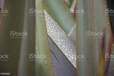 Lush Green Plant Background of Harakeke or New Zealand Flax Leaves A close-up background of the Harakeke or New Zealand Flax Leaves in green tones. Abstract Stock Photo Abstract Images, Abstract Backgrounds, New Zealand Flax, Plant Background, Photo Composition, Lush Green, Green Plants, Photo Illustration, Image Now