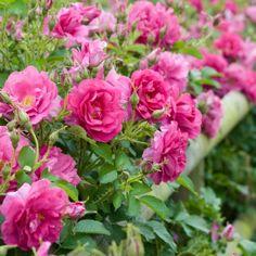 Hedging Rose - Wild Edric