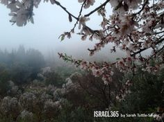 almond blossoms in Rosh Pina. Almond trees have grown in Israel since Biblical times and were amongst the gifts sent by Jacob to Joseph in Egypt (Gen. 43:11).