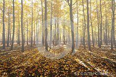 Foggy ginkgo forest