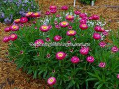 Top 10 natives for pots.  xerochrysum bracteatum everlasting daisy wallaby cherry.
