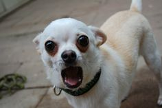 Cole, the cutest chihuahua alive. Best. Photo.Ever.