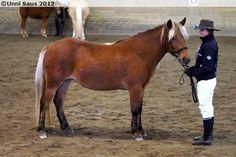 silver bay - Nordland / Lyngen Horse mare Brages Lyngsmolly