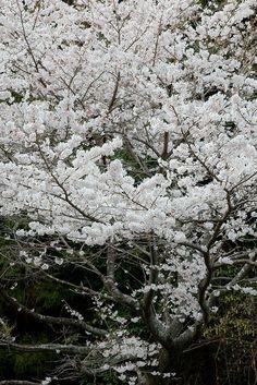Sakura! Amo essa árvore! Plantei uma mudinha adquirida em Campos do Jordão, vai completar 2 anos. Cresce bem devagar. Agora esta com poucas folhas, algumas caducas e muitos brotos (assim acredito), parece que esta dormindo...Não vejo a hora de vê-la despertar!