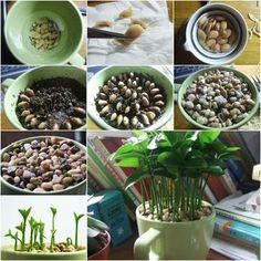 Wie schreibt man einen Zitronenbaum aus Samen in einem Topf wachsen Innenaufnahme