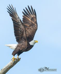 Bald Eagle Eagle Images, Eagle Pictures, Wildlife Photography, Animal Photography, Eagle Drawing, Bass Fishing Shirts, Funny Parrots, Horse Artwork, Jesus Art