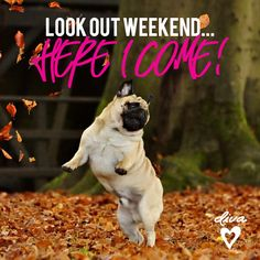 As the weather cools down, warm your heart with these adorable puppy photos of Pugs celebrating the season. Check out these beautiful fall dog pictures that capture adorable Pugs caught in the act of enjoying the autumn splendor. Amor Pug, Pug Love, I Love Dogs, Happy Pug, I'm Happy, Funny Happy, Funny Animals, Cute Animals, Animals Dog