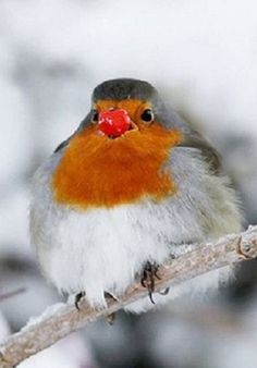 European Robin with a 'beak-full'