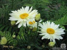 white flower border 'leucanthemum superbum stina