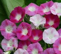 La Vie en Rose Morning Glory  This vibrant mix includes all shades of pink, rose, white and everything in between with each bloom accented with deeper hued stars. Vines grow to 15 feet in full to part sun and average soil. Try this spectacular mix on a trellis or fence for stunning blooms each morning. What a way to start the day! Pkt. 25