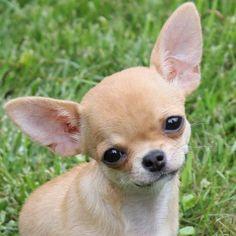 You'll love our Chihuahua FB page>>> https://www.facebook.com/LoveMyChihuahuaCutie/ #Chihuahua