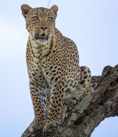 Gosheni Safaris (@gosheni_safaris) | Twitter Panthera Pardus, Arusha, Call Of The Wild, African Safari, Tanzania, Amazing, Awesome, Animal Pictures, Wildlife