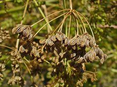 Fruit de la cicuta (Conium maculatum)