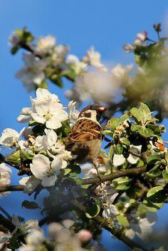 Sparrow in apple tree:)