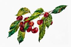 Sweet cherry berry twig with fruit and leaves by NathingsArt