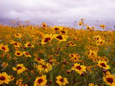 I'm craving a yellow-blossomed field.
