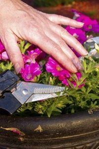 Petunia Deadheading Info – Do You Have To Deadhead Petunias