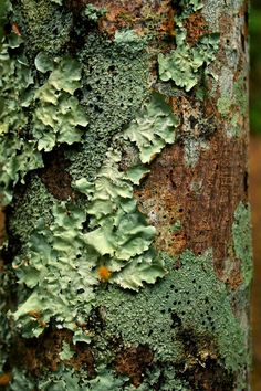 You can stare at a tree for hours and still find new parts to look at. I love the moss starting to wrap itself onto this tree bark Natural Forms, Natural Texture, Green Texture, Wood Texture, Mushroom Fungi, Tree Bark, Tree Tree, Wood Tree, Patterns In Nature