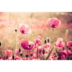 Heaven PRINT ONLY - poppy flowers photography, pastel pink... ❤ liked on Polyvore