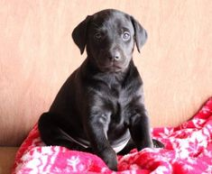 Spike   Doberman Pinscher Mix, Lab Mix Puppy For Sale   Keystone Puppies Doberman Puppy Red, Red Doberman Pinscher, Lab Mix Puppies, Puppies For Sale, Dobermans, Labrador Retriever, Children, Dogs, Cute