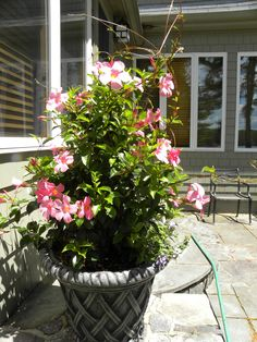 Mandevilla vine in a pation concrete container very tolerant to full sun and heat