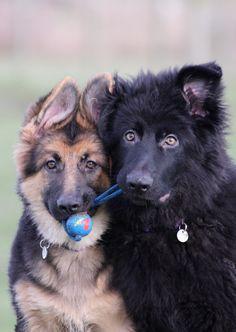 Those ears! Beautiful #German #Shepherd Dogs