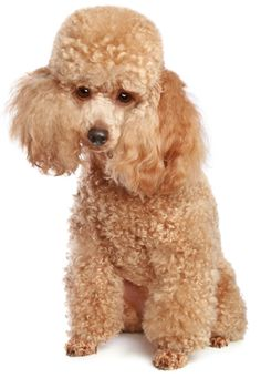 Google Image Result for http://www.justdogbreeds.com/images/breeds/xtoy-poodle.jpg.pagespeed.ic.m1AjzQH6Dr.jpg